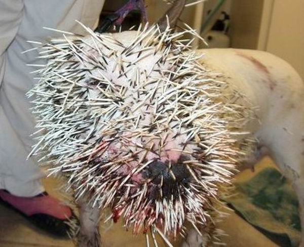 Pitbull Porcupine Fight