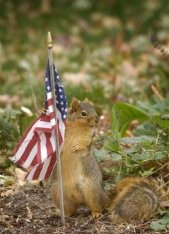 Patriotic Squirrel?